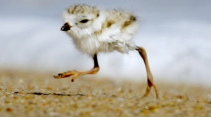 Read full article: Get Ready For 'Chick Mania': Habitat Improves For Endangered Shorebird As Lake Levels Drop