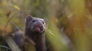 Read full article: Wisconsin Farms Working To Vaccinate Mink Against Coronavirus
