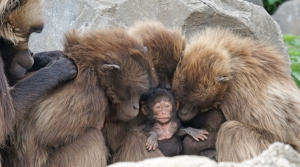 "A gelada ""baboon"" family, a species of Old World monkey found only in the Ethiopian Highlands."