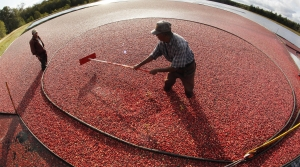 Read full article: Wisconsin Expected To Harvest Estimated 5.6M Barrels Of Cranberries