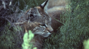 Read full article: Bobcat Population On The Rise In Wisconsin