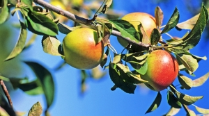 Read full article: Apples: A Simple Fruit With A Complex Backstory