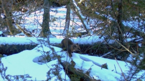 Read full article: Scientists Seek To Solve Marten Mystery On The Apostle Islands