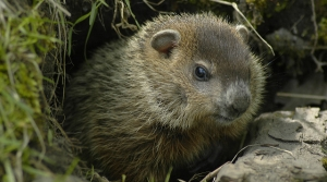 Read full article: Wisconsin Woodchucks Lose Protected Status