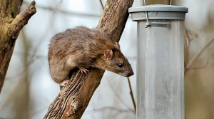 Read full article: Green Bay OKs $10K To Root Out Rats