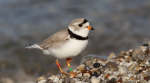 Read full article: Partners Seek To Boost Success Of Piping Plovers