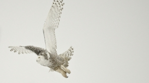 Read full article: Snowy Owls Cause Concern Among Pilots