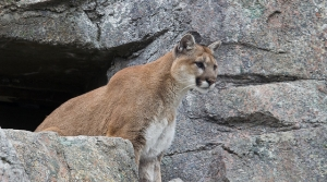 Read full article: Wisconsin DNR Confirms Douglas County Cougar