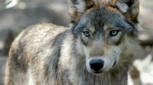 Read full article: Wildlife Officials Kill Wolf In Superior