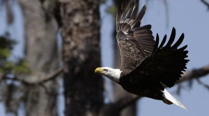 Read full article: Bald Eagle Population Reaches Record High
