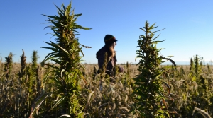 Read full article: Industry Experts Say Most Farmers Still Face Barriers To Growing Industrial Hemp