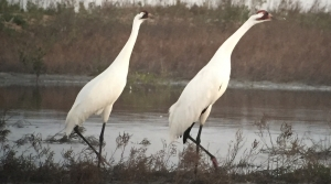 Read full article: International Crane Foundation, Whooping Cranes Face Challenges From Hurricane Harvey