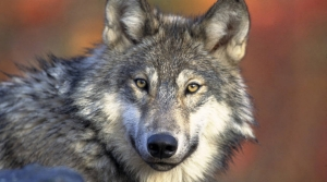 Read full article: Hunters To DNR: Do More To Remove Gray Wolf From Endangered Species List