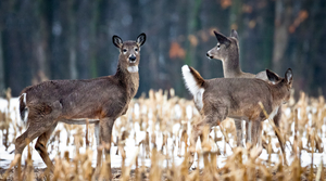 Read full article: Northern Wisconsin County Adopts Ordinance To Regulate Deer Farms