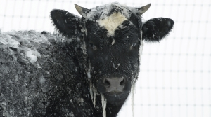 Read full article: Cold Weather Brings Added Costs, Stress For Wisconsin Farmers