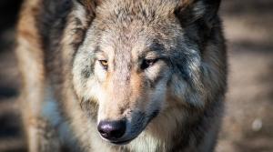 Read full article: Dane County judge seems to indicate 2012 wolf hunt law is unconstitutional