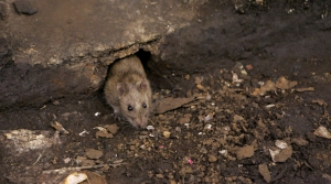 Read full article: Green Bay Looks To Hire Someone To Address Rat Problem