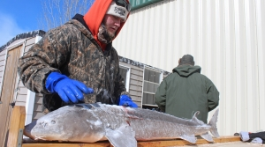Read full article: Winnebago Sturgeon Spearing Season Ends With Below-Average Catch