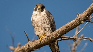 Read full article: Green Bay Peregrine Falcons Will Soon Need New Home