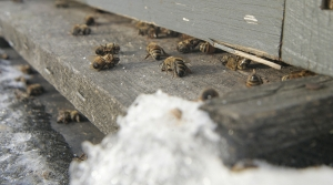 Read full article: Wisconsin Beekeepers Report Losing High Numbers Of Bees This Winter
