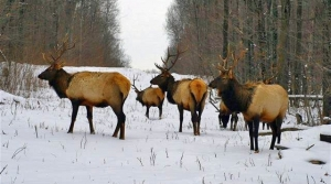 Read full article: DNR Announces First State Elk Hunt In Northern Wisconsin This Fall