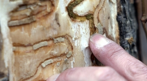 Read full article: Wisconsin Entering Statewide Emerald Ash Borer Quarantine