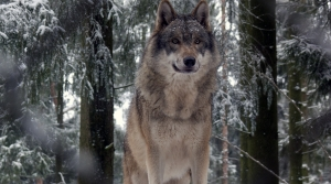 Read full article: Congressional Bid To Remove Wisconsin Wolves From Endangered Species List Falls Flat