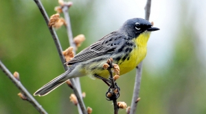 Read full article: Kirtland's Warbler To Stay On Wisconsin's Endangered Species List