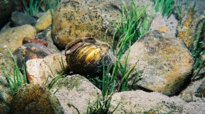 Read full article: Freshwater Mussels Are Dying Off In Wisconsin