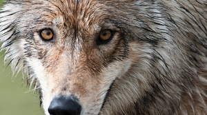Read full article: Federal Government Reviewing Removing Gray Wolf From Endangered Species List