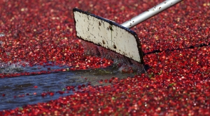 Read full article: Wisconsin Cranberry Growers Bring In Smaller Crop Than Expected