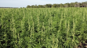 Read full article: Schimel: Wisconsin Hemp Growers OK To Produce CBD Oil