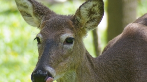 Read full article: UW Study Finds CWD Prions At Mineral Lick Sites