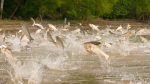 Read full article: Asian Carp DNA Found Near Lake Michigan