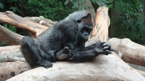 Read full article: Gorilla Deaths At Milwaukee Zoo Linked To E.Coli