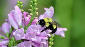 Read full article: Wisconsin Bumble Bee Brigade Tracks Species, 1 Photo At A Time