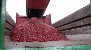 Read full article: Wisconsin Cranberry Growers Hopeful About Market Future After 2 Years Of Limiting Production
