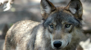 Read full article: DNR: Data Suggests Wolf Population Could Be Stabilizing