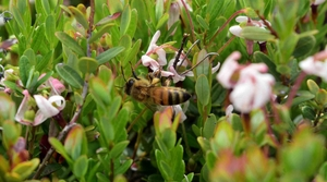 Read full article: WisContext: Pollinators Provide Extra Buzz To Wisconsin's Cranberry Crop