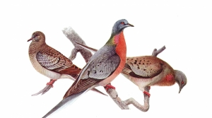 Read full article: WisContext: What Does The Passenger Pigeon Have To Do With Lyme Disease?