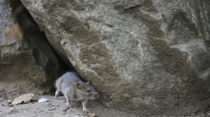 Read full article: Brown County Offers Residents Free Rat Traps