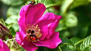 Read full article: WisContext: 5 Ways To Battle Japanese Beetles While Protecting Pollinators