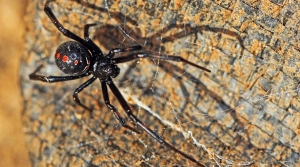 Read full article: WisContext: Northern Black Widow Is Rare In Wisconsin, But Sightings Spiked In 2017