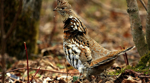 Read full article: Ruffed Grouse Population Declining, Hunters Worry West Nile Virus To Blame