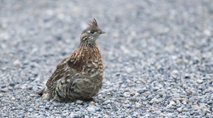 Read full article: Wisconsin DNR To Relocate 300 Ruffed Grouse To Missouri