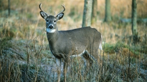Read full article: Republican State Senator Signals Intention To Block Walker's CWD Rule