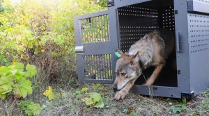 Read full article: Pair Of Gray Wolves Relocated To Isle Royale National Park