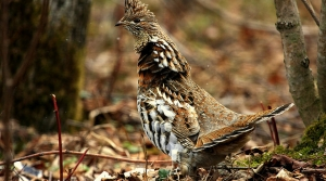 Read full article: Wisconsin's Ruffed Grouse Season Shortened By More Than 3 Weeks