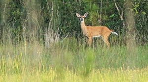 Read full article: Northern Wisconsin Counties Exploring Local Control Of Deer Farms