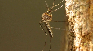 Read full article: WisContext: Why Wisconsin Saw A Surge In Mosquitoes As Summer 2018 Ended